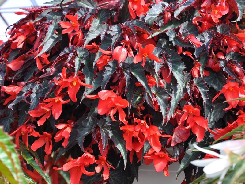Begonia dark red