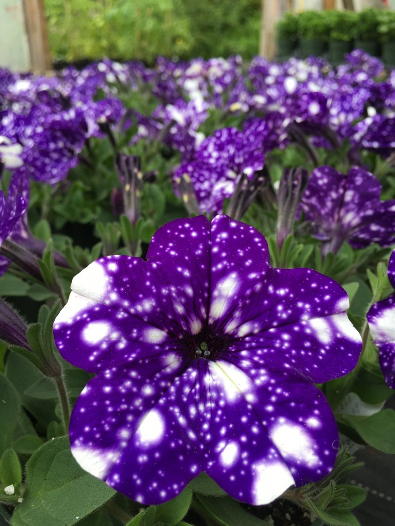 Petunia ricadente nightsky