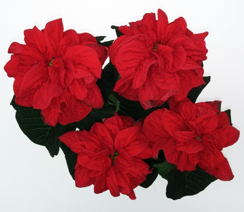 Poinsettia winter rose red