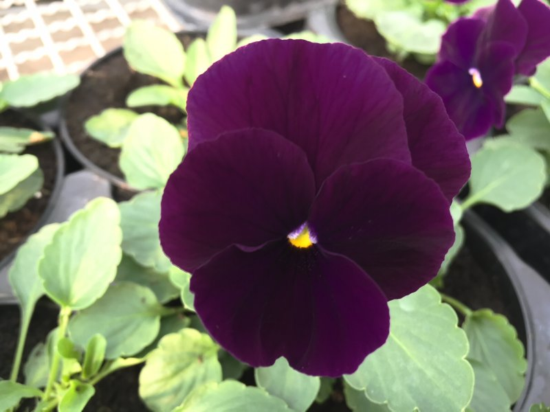 Viola ricadente purple