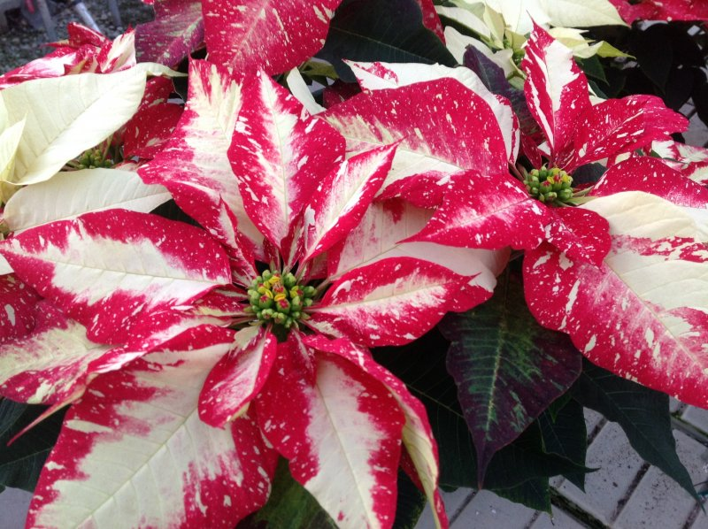 Poinsettia jingle bells rock