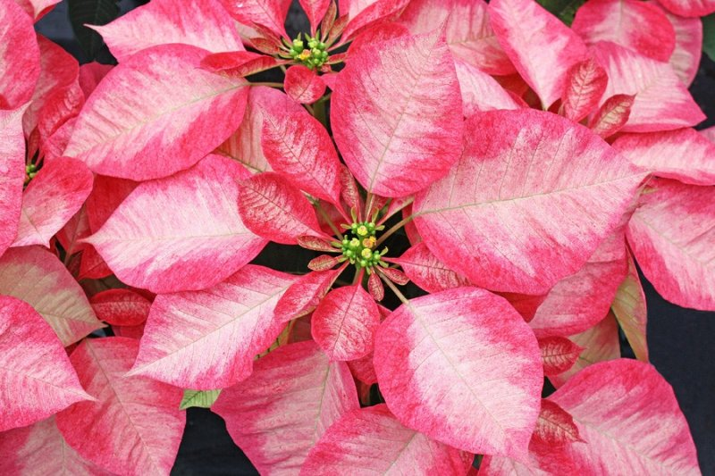 Poinsettia ice crystal vaso: 14 - 16